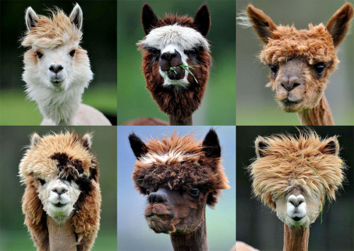 bitchville:  Freshly shaved alpacas are seen at Alpaca-Land farm in Goeming in the Austrian province of Salzburg. The annual shearing of Alpacas is done in the spring to make the animals more comfortable for the summer months, and it gives them plenty of time to grow a thick new coat before winter. (Kerstin Joensson/Associated Press) Click image to zoom.  Reblogged for Jason.