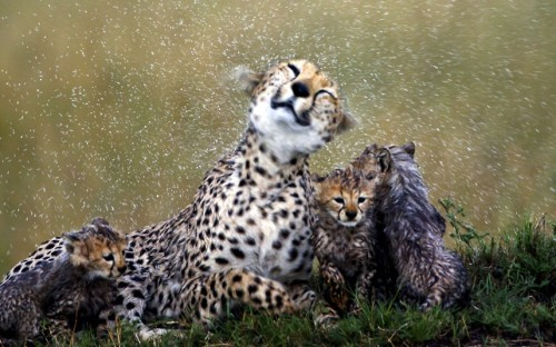 theanimalblog:  Cheetah mother Sita shakes off rain as she sits with her cubs. Wildlife photographer and Exodus tour guide Paul Goldstein worked alongside the team filming Disney's African Cats in Kenya, often pinpointing the position of the animals on the Masai Mara.Picture: Paul Goldstein/Exodus / Rex Features