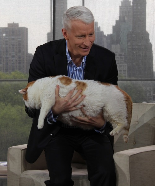 "thefrogman:  anderson:  Anderson meets Meow, the 37-lb cat (the equivalent of a 600-lb person), today on ""Anderson.""    It's like holding a living pillow pet"