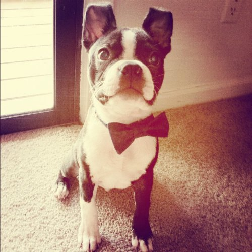 Frankie, looking smashing in his new bow tie!