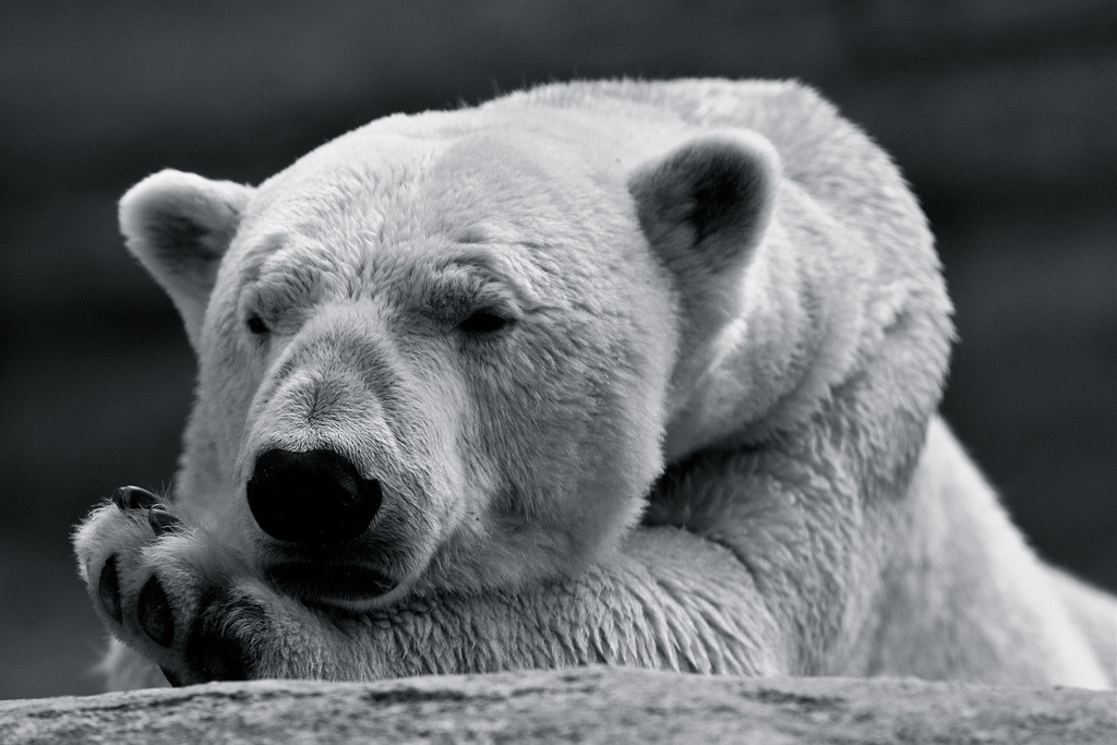 Male Polar Bear (by 1982Chris911 (Thank you 500.000 Times))