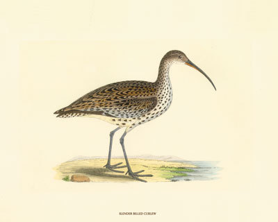 I saw a pair of Curlew today, sheltering from the storm.