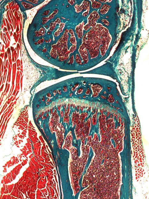 Goldner Trichrome Staining Source: Histological Protocol, Research and training in Skeletal Biology, UConn Health Center, University of Connecticut.