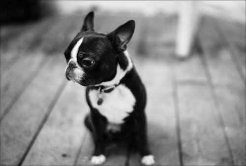 Just adding a picture of an adorable puppy to your day. via black-and-white:  wee funny looking black and white dog on out of focus black and white floorboards by:gorbot.