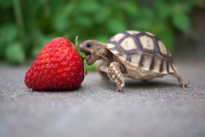 Dat turtle just wants to eat that strawberry…