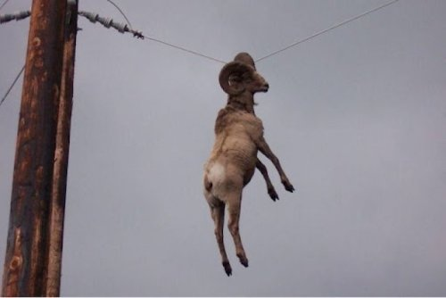 "Ram Hanging from Powerline by Horn  ""What's up?"" ""Ah, I'm just hanging out."""
