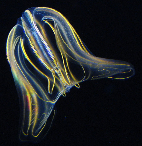 "bioguru:  Ctenophores are the ""comb jellies,"" well known for their beautiful bioluminescence. They appear jellyfish-like in appearance, but lack cnidocytes, the stinging cells characteristic to Cnidarians. Instead, Ctenophores have collblasts, which are adhesive cells for capturing small prey. These colorful little guys swim by manipulating currents with their eight rows of specialized ciliated cells called ctenes (comb rows). Hence the nickname comb jellies."