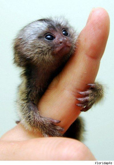 cwally127:  This is the smallest true monkey there is. It is called a pygmy marmoset or dwarf monkey. They can be found in western Brazil, southeastern Colombia, eastern Ecuador, eastern Peru, and northern Bolivia. They have a body length of 5.5-6.3 inches plus 5.9-7.9 inch tail. Males weigh around 4.9 oz. Females weigh around 4.3 oz.  They may be small, but they're smart.