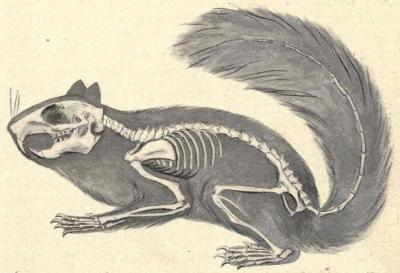 "Skeleton of the squirrel, showing its relation to the body Check out that skull and those teeth - the family Sciuridae is more closely related to beavers, dormice, and porcupines, than they are to your average household rodent, despite looking like ""fancy-dress rats"". The skull is often a key differentiating factor for comparative zoologists. The design of the inner ear and teeth/jaws can often point to a very different (and much more accurate) classification of a species than body type.  Animal Forms: A Textbook of Zoology. David S. Jordan and Harold Heath, 1902."