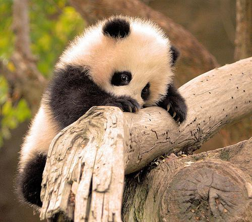 Little Panda By:tardo123