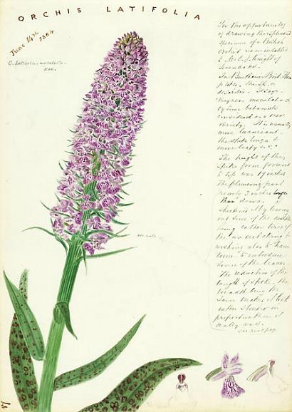 stilllifequickheart:  John Day Orchis latifolia - Heath Spotted Orchid 1884