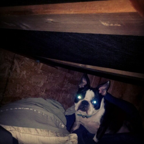 All good laser dogs hide under the bed. (Taken with instagram)