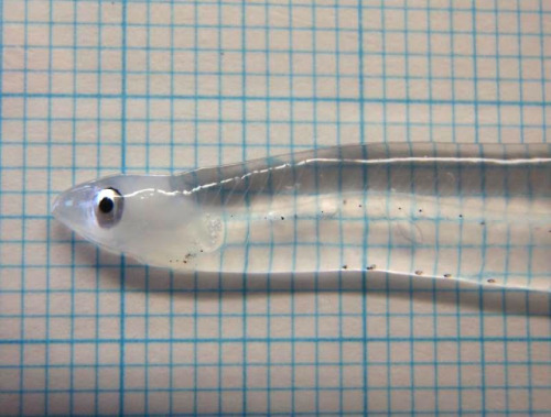 "(via TYWKIWDBI (""Tai-Wiki-Widbee""): Leptocephalus)  ""I posted a video of this amazing creature last year, but this still photo emphasizes how truly transparent they are.  Even the bones and digestive tract are virtually invisible."""