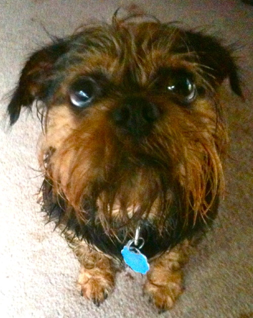 Here's Buddy — the Brussels Griffon mix! Apparently this is his Puss in Boots impression, and he's trying to convince you to give him a treat! ;) - submitted by Christen