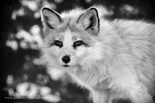magicalnaturetour:  A foxy look ~ Photo by Jason Odell :)
