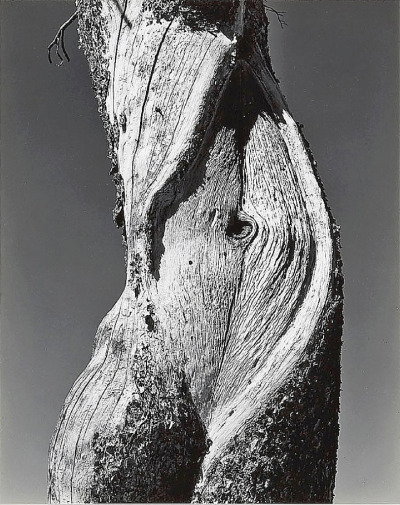 Pine, Lake Tenaya, Yosemite National Park photo by Edward Weston, 1937