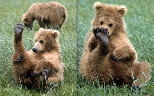theanimalblog:  This bear cub seems to be wondering where a certain pong is coming from. Having a great sense of smell has its drawbacks as shown by this curious bear cub who seems to be checking himself for a strange smells. US photographer Daniel J Cox spotted the cub along the coastal mainland in Alaska..  Picture: Daniel J. Cox / Barcroft Media