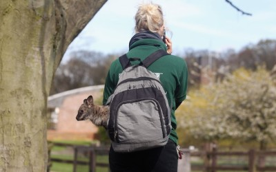 Zookeeper Jo Shirley carries Tilly, an orphaned baby wallaby, in a rucksack at ZSL Whipsnade Zoo in Dunstable, England. Tilly is being hand-reared by keepers at the zoo using a rucksack and blanket as a substitute pouch.  Picture: Oli Scarff/Getty Images