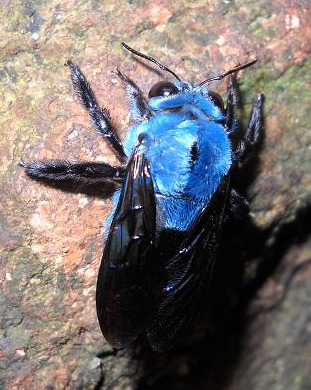 "prolapseofelidae:  Xylocopa caerulea ""Blue Carpenter bee"""