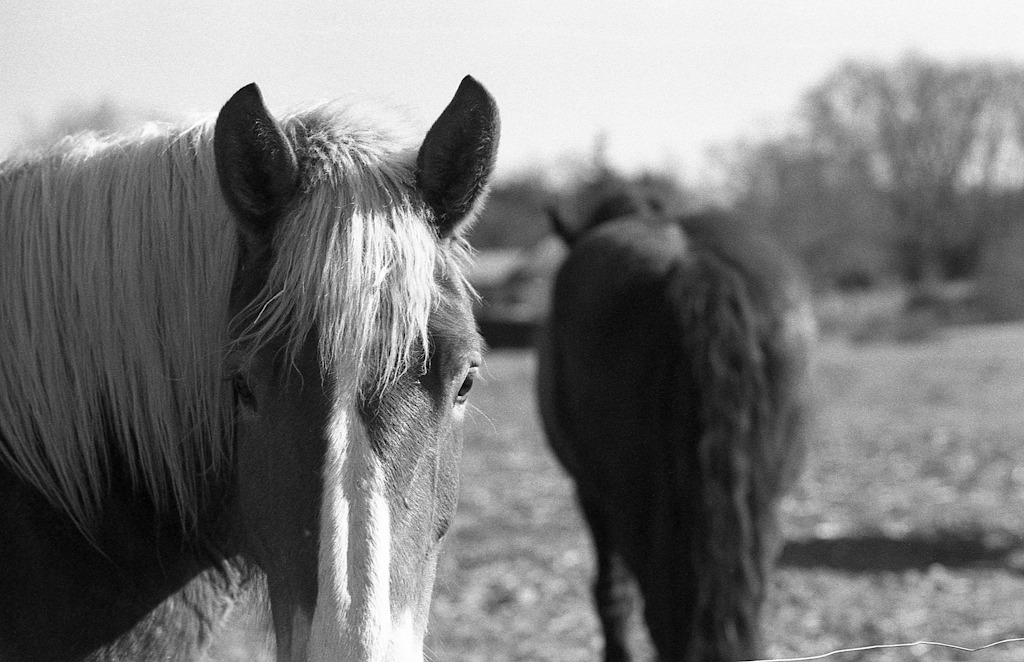 Horses Olympus OM1n / Kodak TriX400 / Zuiko 85mm f2 (Yellow filter)