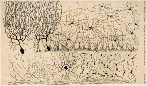 This is another drawing by Ramón y Cajal of all the neurons found in the cerebellum.  A is the purkinje cells I have talked about before. D are stellate cells, another type of neuron that can be excitatory or inhibitory, but are an inhibitory interneuron in the cerebellum.  They are so named for their star-like shape due to their many dendrites. F are Golgi cells, which are also inhibitory interneurons in the cerebellum.  These are located in the granule layer. H are granule cells, which are notable for being so very small and numerous in the brain- they also have a funky shape in my personal, nonscientific opinion.  They are located in the granule layer of the cerebellum (unsurprisingly). S are basket cells which are also inhibitory interneurons and are all over the brain, but also in the molecular layer of the cerebellum.  You may have noticed a trend- inhibitory interneurons are greatly varied in type and are very numerous all throughout cortex.  Each type serves slightly different functions and can elegantly inhibit neurons in different ways to promote the appropriate responses and keep the system running. [Image Source]