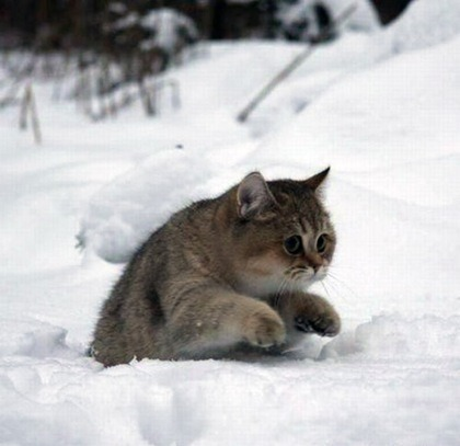 Russian Winter Kitty…. so FLUFFY!