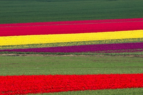 Photo of the Day: Tulips blossom on a commercial flower field in Germany. via