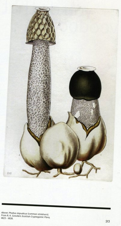"Phallus impudicus (common stickhorn) From R.K Greville's Scottish Cryptogamic Floro, 1823 - 1828.  ""God hath imprinted upon the plants, herbs and flowers, as it were in hieroglyphics, the very signature of their virtues."" - Robert Turner"