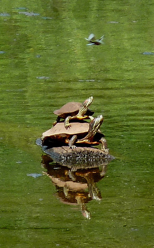 turtlesonturtles:  A Stacked Pair (by Catcher In My Eye)