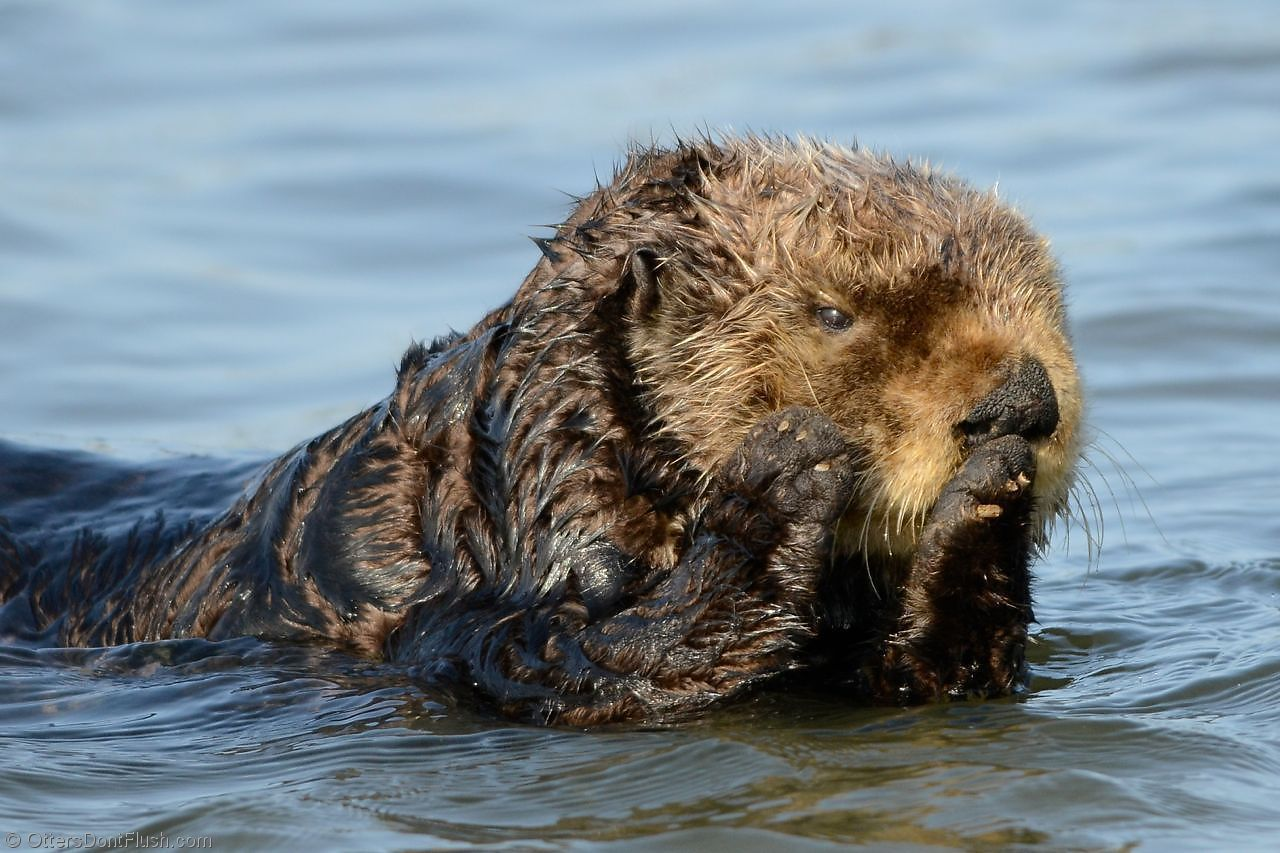 Michael Yang Photography Sea otter swimming on his tummy