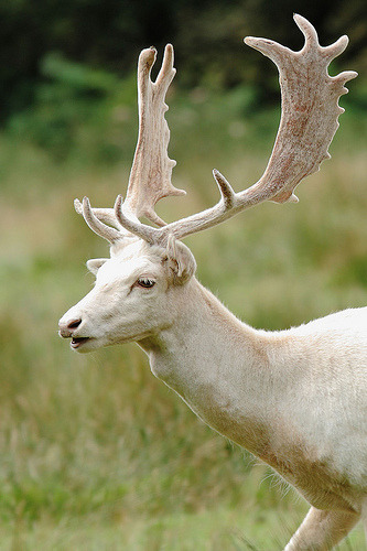wolfdancer:  Albino Stag