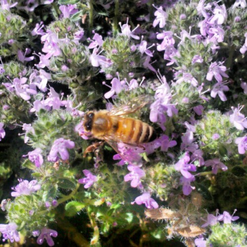 Bee on Thyme (Taken with instagram)