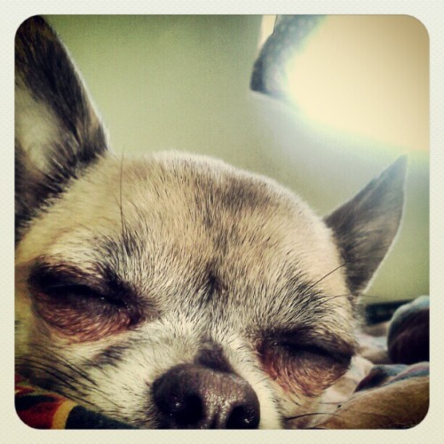Little precious baby face #chihuahua  (Taken with instagram)
