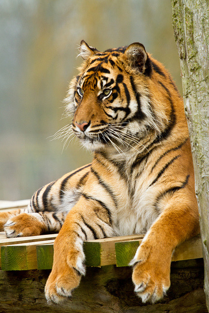 tigersandcompany:  Surya (by patrick-walker)