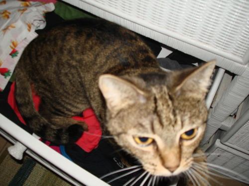 get out of there cat. you are not clothes. you don't not need to be folded and put away.