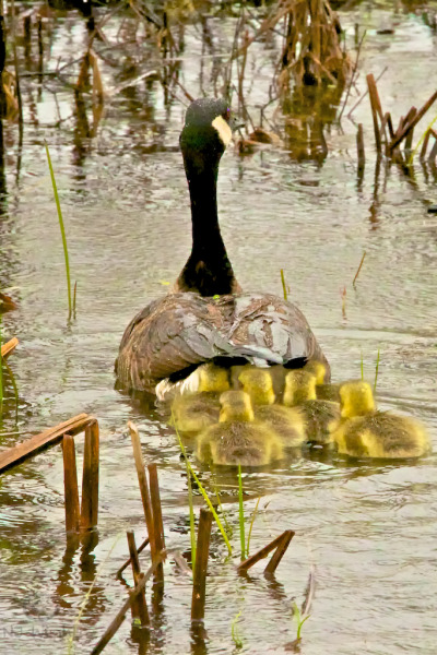Jockeying for position under mom's tail-feather umbrella, these goslings are likely weathering their first storm at just a few days old. When the goslings are born they are bright yellow with a dark beak, looking more like baby ducks. They are able to swim as soon as they are born and the adults will lead them to safety in open waters. As the weeks pass, their yellow down darkens and changes to gray. By nine weeks old their plumage has significantly changed and their flight feathers have grown in, and they begin to look more like adult birds with a jet-black head and neck, white cheeks and chinstrap, tan breast, and brown back. Interestingly, the adult molt (when a bird loses it's flight feathers) takes place during the summer and lasts for about 25-40 days. The adults regrow their flight feathers are about the same time the goslings grow theirs. Next spring, the geese will migrate to the same area they were born and the young ones will join flocks with other young geese. They will begin to reproduce when they are two or three years old. In a healthy environment Canada Geese can live for twenty-five years.