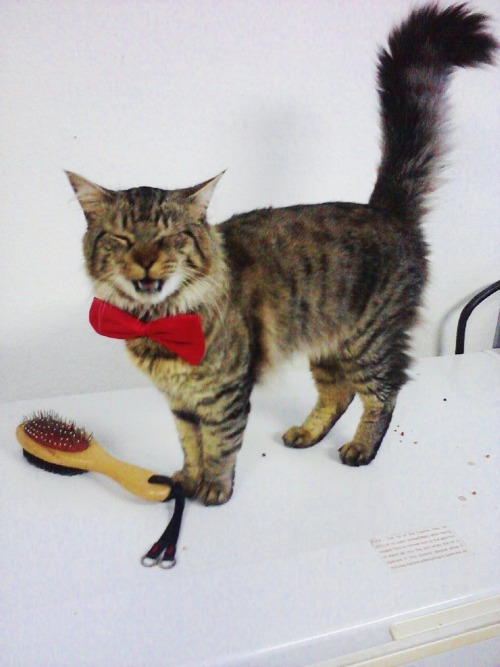 derpycats:  Tiger showing off his new Bow-tie.  Tiger looks a lot like the 11th Doctor!