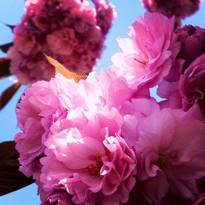 #cherryblossoms #sakura #flowers #flower #pink (Taken with instagram) @instacanv.as