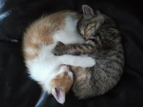thefluffingtonpost:  PHOTO OP: Yin and Yang Kitties Via entropys.