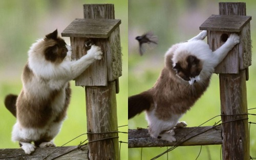theanimalblog:  A cat tries to catch a bird flying out of a nesting box in Roseburg, Oregon, US. When the little bird poked its head out the cat pounced, but the bird managed to evade its attacker.Picture: KeystoneUSA-ZUMA / Rex Features