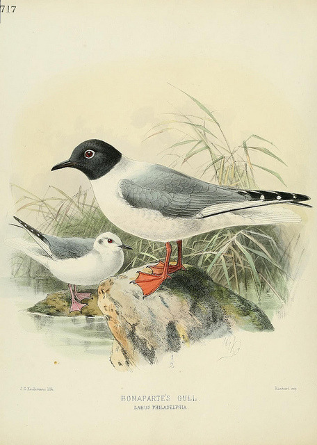 dendroica:  Bonaparte's Gull by BioDivLibrary on Flickr. A history of the birds of Europe :. London :Published by the Author,1871-1881..biodiversitylibrary.org/page/38625637