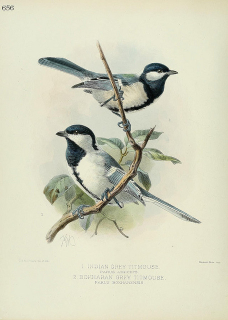dendroica:  Indian Grey Titmouse and Bokharan Grey Titmouse by BioDivLibrary on Flickr. A history of the birds of Europe :. London :Published by the Author,1871-1881..biodiversitylibrary.org/page/38625243