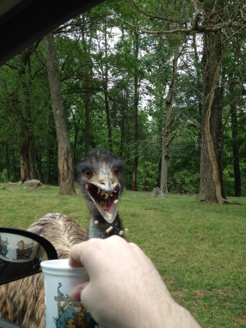 Terrifying Emu Eats Food Pellets   Drive! DRIIIVE!  [Like following us on Tumblr? Join the party on Facebook!]