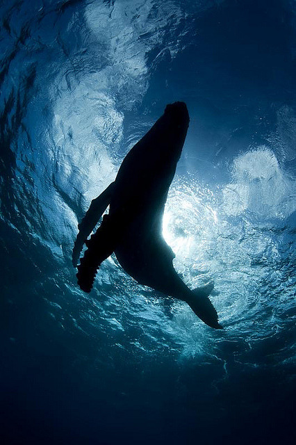 100leaguesunderthesea:  Humpback Calf silouhette by scott1e2310 on Flickr.