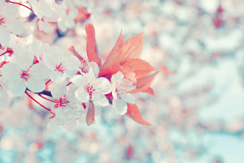 (can't stop editing my cherry blossom photos…they're so funn ;u;)