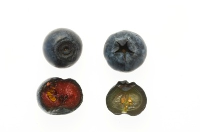 thingsorganizedneatly:  SUBMISSION: bilberry vs blueberry ed: Informational.