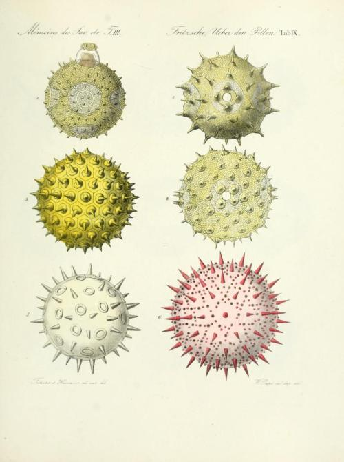 scientificillustration:  Pollen from 'Ueber den Pollen' by Julius Fritzsche Published 1837