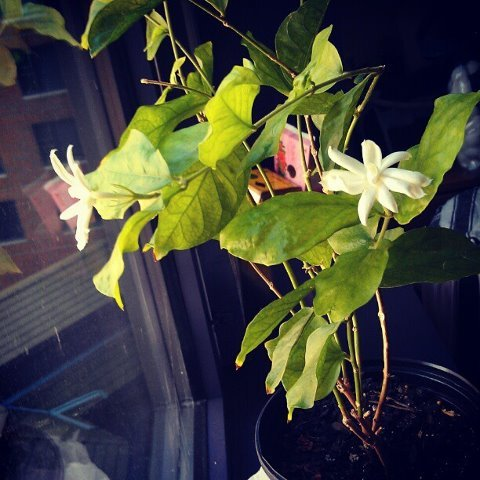 My beautiful jasmine plant has bloomed!