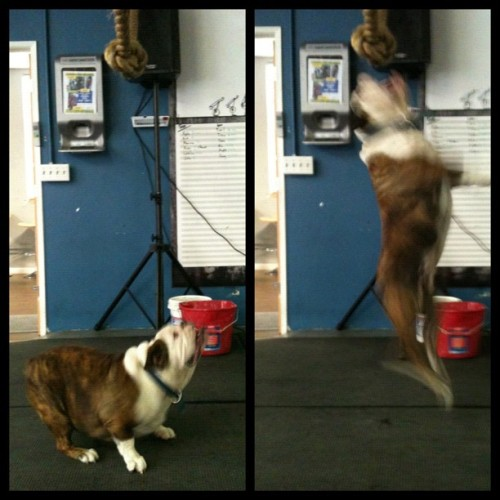 #crossfit Pasadena coach Benson getting in some jump training . #bulldog #flying #hops #ivebeenwatchinghimdothisforthepasthour (Taken with instagram)