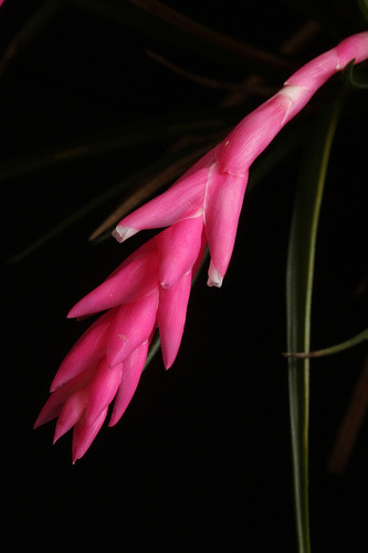 Tillandsia tenuifolia - 07 by Luiz Filipe Varella - www.orquideasgauchas.net on Flickr.